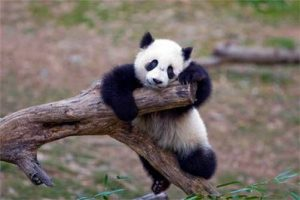 Panda-courtsey_National_Georgaphy